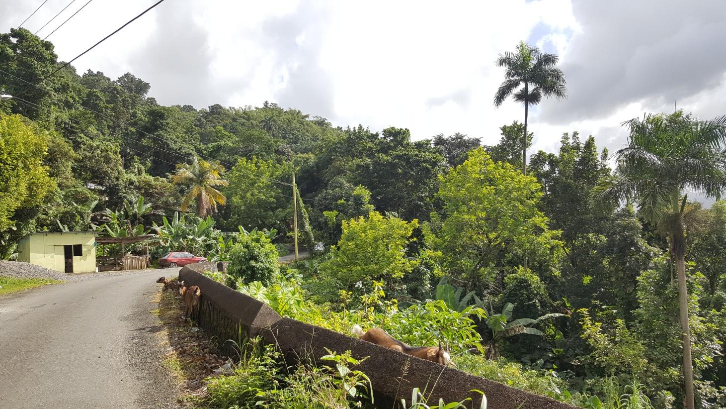 Jamajka259