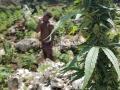 Jamajka083